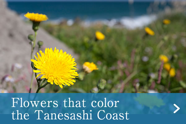 Flowers that color the Tanesashi Coast