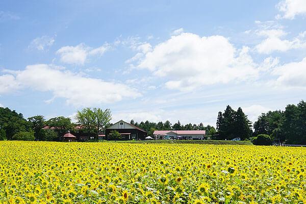 山の楽校のひまわり畑